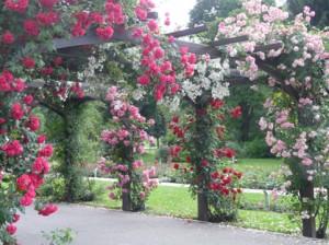2010-06-20-baden-harlekin-rosarium